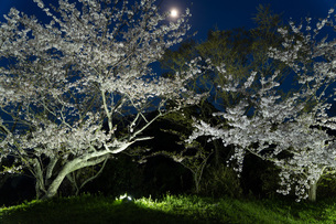 照明に照らされる夜桜の写真素材 [FYI04296926]