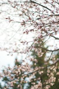 桜の写真素材 [FYI04297329]