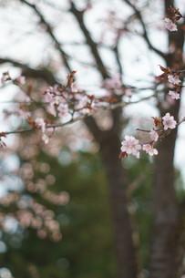 桜の写真素材 [FYI04297330]