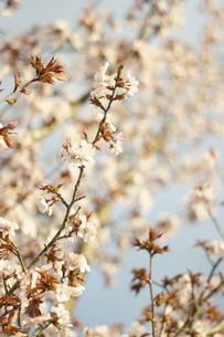 輝く桜の写真素材 [FYI04297332]