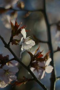 桜の雄蕊の写真素材 [FYI04297333]