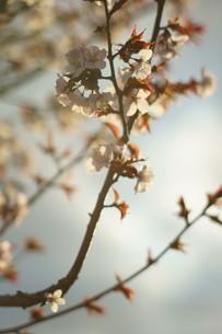 太陽に照らされる桜の写真素材 [FYI04297334]