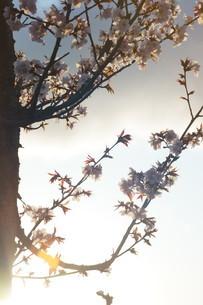 夕日に照らされる桜の写真素材 [FYI04297340]