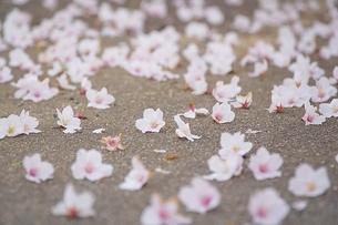 地面に落ちた桜の花の写真素材 [FYI04297345]