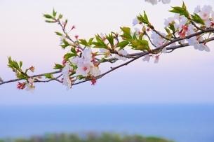 桜と湘南の海の写真素材 [FYI04297353]