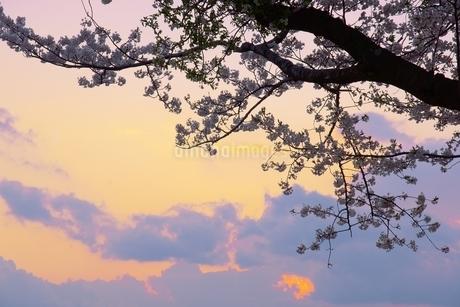桜と夕暮れ空の写真素材 [FYI04297356]