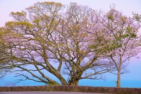 桜と木のカラフルコラボレーションの写真素材 [FYI04297372]