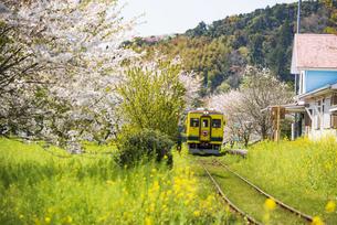 いすみ鉄道 桜並木と菜の花畑に囲まれた総元駅と列車の写真素材 [FYI04297424]