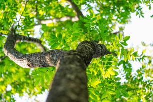 見上げた木の写真素材 [FYI04297516]