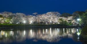 長崎県 桜 大村公園 パノラマ (玖島城跡) の写真素材 [FYI04297610]