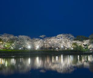 長崎県 桜 大村公園 (玖島城跡) の写真素材 [FYI04297611]