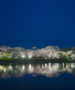 長崎県 桜 大村公園 (玖島城跡) の写真素材 [FYI04297612]
