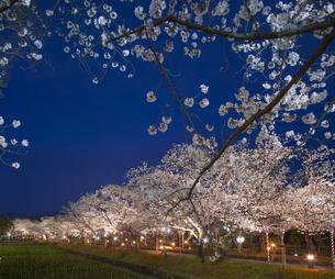 長崎県 桜 大村公園 (玖島城跡) の写真素材 [FYI04297626]