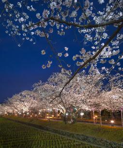 長崎県 桜 大村公園 (玖島城跡) の写真素材 [FYI04297627]