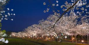 長崎県 桜 大村公園 パノラマ (玖島城跡) の写真素材 [FYI04297628]