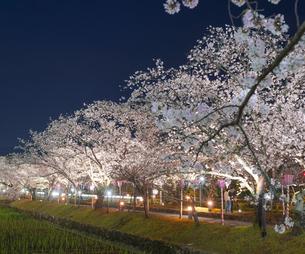 長崎県 桜 大村公園 (玖島城跡) の写真素材 [FYI04297629]