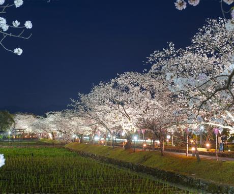 長崎県 桜 大村公園 (玖島城跡) の写真素材 [FYI04297630]