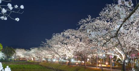 長崎県 桜 大村公園 パノラマ (玖島城跡) の写真素材 [FYI04297632]