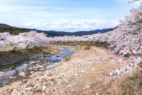 圧巻の桜並木の写真素材 [FYI04297672]