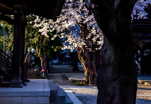 お寺の桜の写真素材 [FYI04297673]