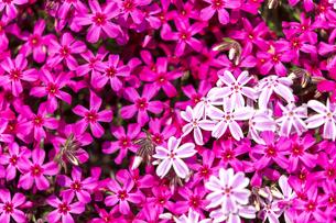 春を呼ぶピンクの写真素材 [FYI04297675]