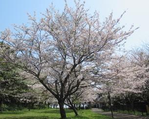 桜の花 満開の写真素材 [FYI04297681]