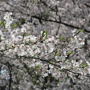 桜の花の写真素材 [FYI04297688]