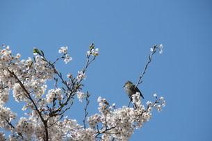 桜の花と鳥の写真素材 [FYI04297725]