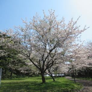 桜の花の写真素材 [FYI04297736]