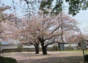 二本の桜の木 の写真素材 [FYI04297737]