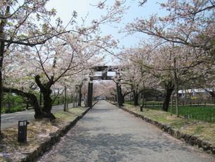 大村公園の桜並木の写真素材 [FYI04297739]