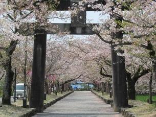 大村公園の桜並木の写真素材 [FYI04297742]
