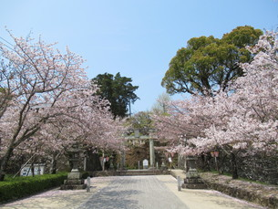 鳥居と桜の写真素材 [FYI04297744]
