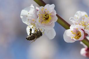 梅の花とミツバチの写真素材 [FYI04297847]