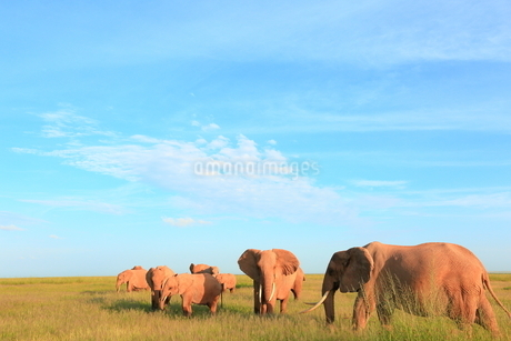 アフリカゾウの写真素材 [FYI04298033]