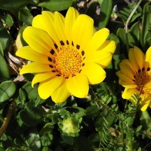 黄色い花の写真素材 [FYI04298048]