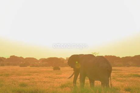 アフリカゾウの写真素材 [FYI04298055]