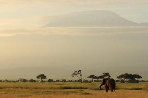 アフリカゾウの写真素材 [FYI04298057]