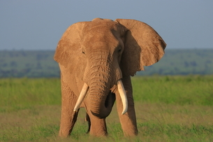 アフリカゾウの写真素材 [FYI04298058]