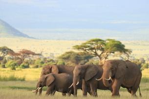 アフリカゾウの写真素材 [FYI04298073]