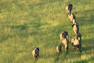 アフリカゾウの写真素材 [FYI04298075]