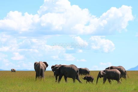 アフリカゾウの写真素材 [FYI04298076]