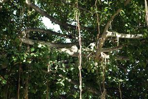 白い鳩 番い 幸運の証 happy love カップル 木 キス Kissing white birdsの写真素材 [FYI04298171]