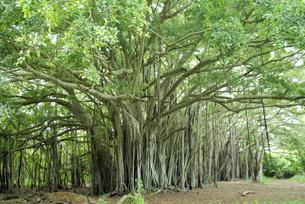 ガジュマルの木 ハワイ  banyan Hawaiiの写真素材 [FYI04298175]