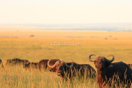 アフリカスイギュウの写真素材 [FYI04298478]