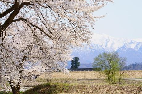遠くに雪山を望む雪国の里山、春の風景の写真素材 [FYI04298482]