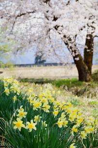 足元に元気な黄色い水仙、奥に桜が咲く里山の春の風景の写真素材 [FYI04298485]