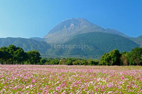コスモス畑と平成新山の写真素材 [FYI04298517]