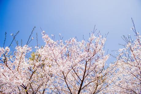 桜3の写真素材 [FYI04298701]