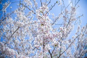 桜2の写真素材 [FYI04298702]
